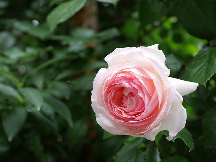 ピエール・ドゥ・ロンサール(ツルバラ)の花がたくさん咲いた。2018年-4.jpg