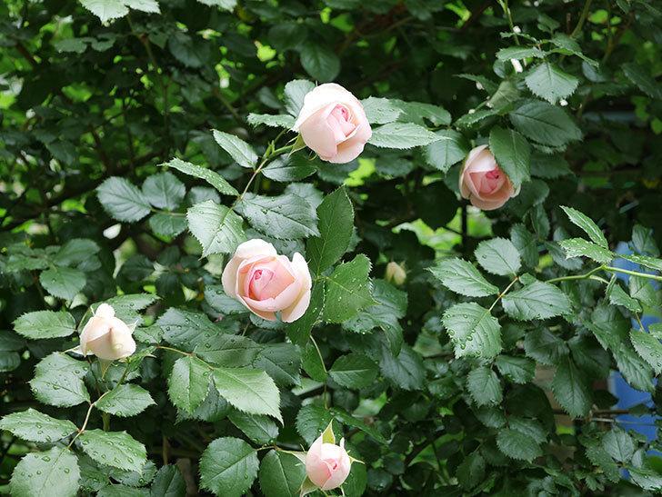 ピエール・ドゥ・ロンサール(ツルバラ)の花がたくさん咲いた。2018年-6.jpg
