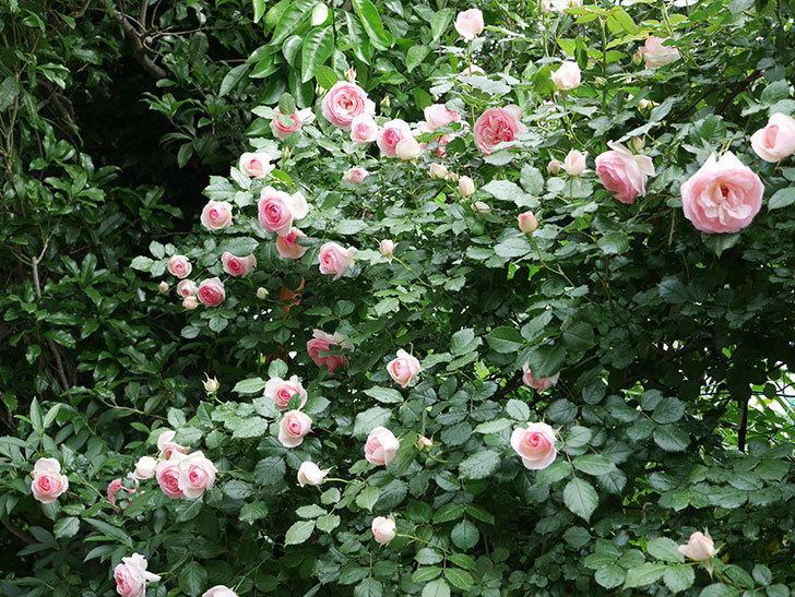 ピエール・ドゥ・ロンサール(ツルバラ)の花がたくさん咲いた。2018年-7.jpg