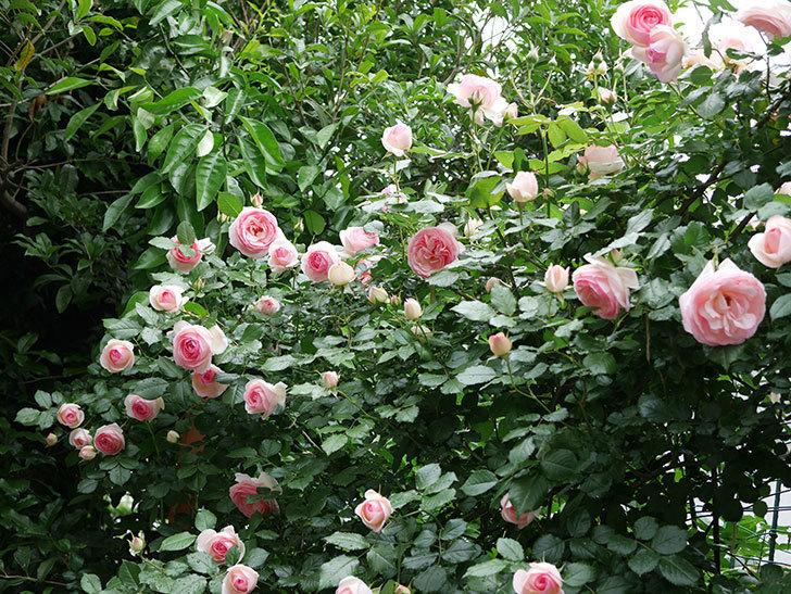ピエール・ドゥ・ロンサール(ツルバラ)の花がたくさん咲いた。2018年-8.jpg