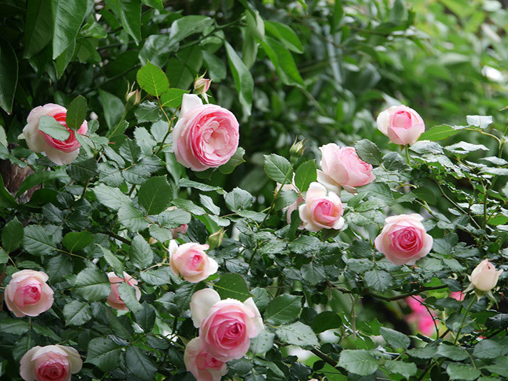 ピエール・ドゥ・ロンサール(ツルバラ)の花がたくさん咲いた。2018年-9.jpg