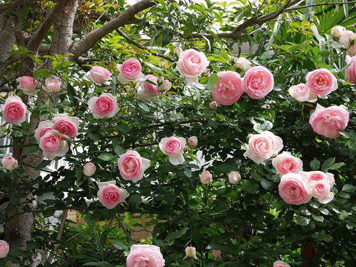 ピエール・ドゥ・ロンサール(ツルバラ)の花がたくさん咲いた。2019年-1.jpg