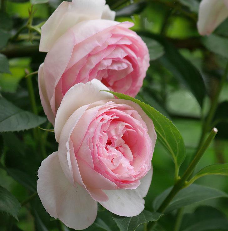 ピエール・ドゥ・ロンサール(ツルバラ)の花がたくさん咲いた。2019年-10.jpg