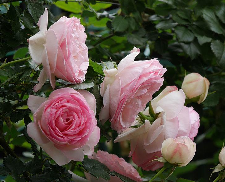 ピエール・ドゥ・ロンサール(ツルバラ)の花がたくさん咲いた。2019年-12.jpg