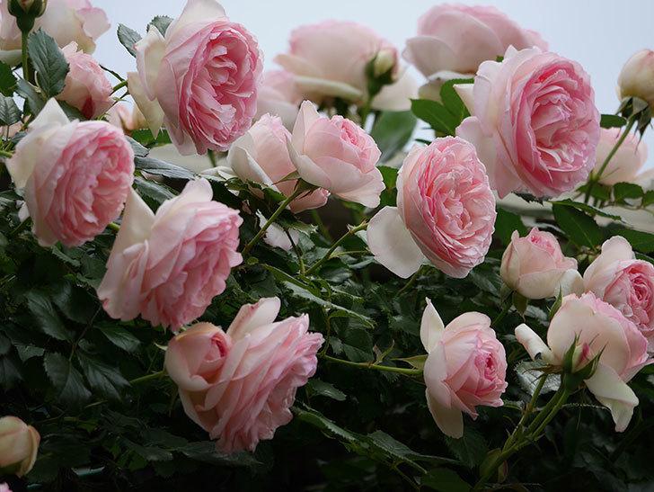ピエール・ドゥ・ロンサール(ツルバラ)の花がたくさん咲いた。2019年-13.jpg