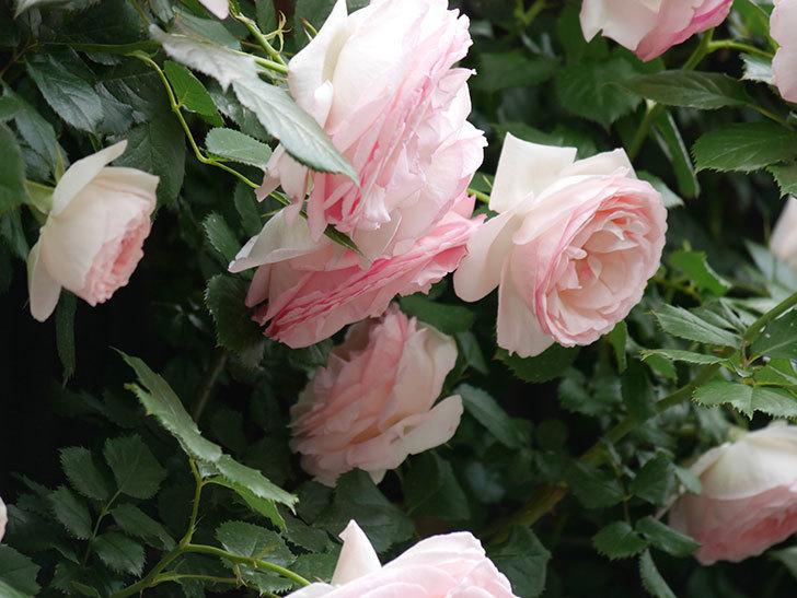 ピエール・ドゥ・ロンサール(ツルバラ)の花がたくさん咲いた。2019年-15.jpg