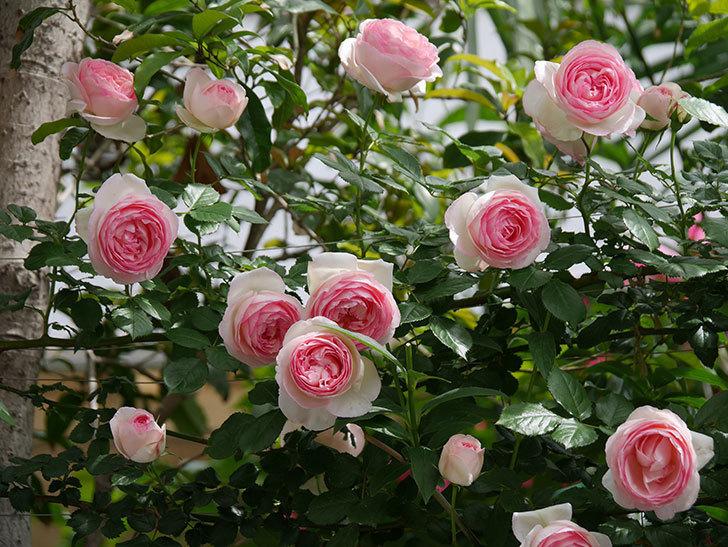 ピエール・ドゥ・ロンサール(ツルバラ)の花がたくさん咲いた。2019年-16.jpg