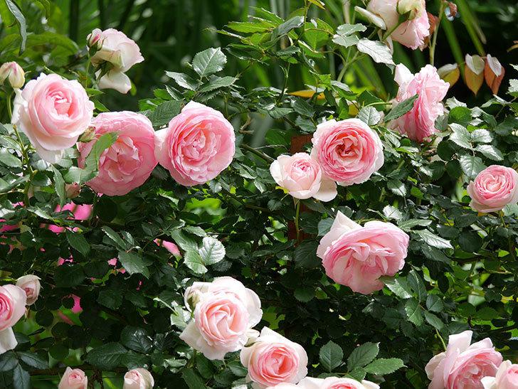ピエール・ドゥ・ロンサール(ツルバラ)の花がたくさん咲いた。2019年-17.jpg