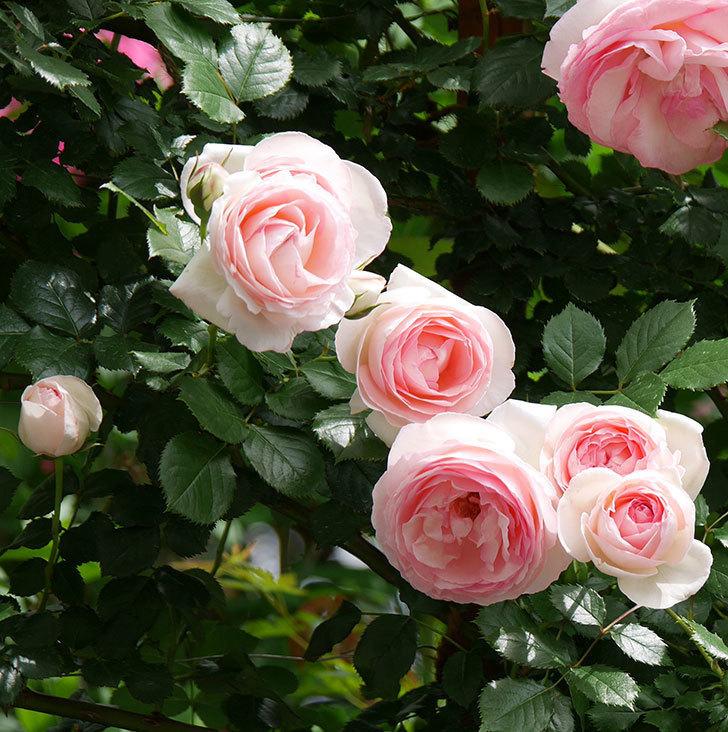 ピエール・ドゥ・ロンサール(ツルバラ)の花がたくさん咲いた。2019年-18.jpg