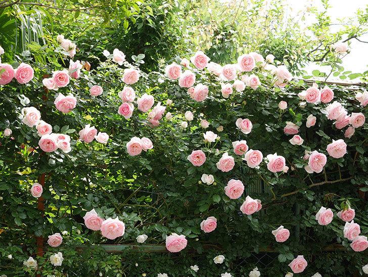 ピエール・ドゥ・ロンサール(ツルバラ)の花がたくさん咲いた。2019年-2.jpg