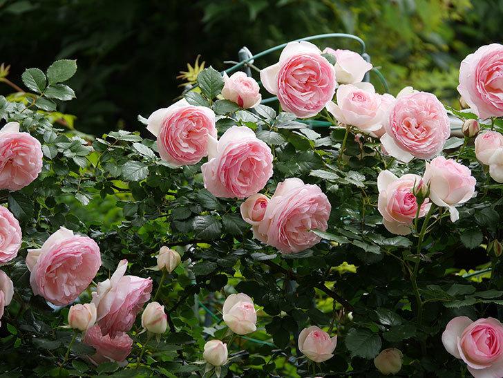 ピエール・ドゥ・ロンサール(ツルバラ)の花がたくさん咲いた。2019年-20.jpg