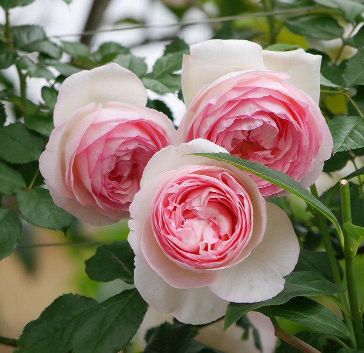 ピエール・ドゥ・ロンサール(ツルバラ)の花がたくさん咲いた。2019年-21.jpg