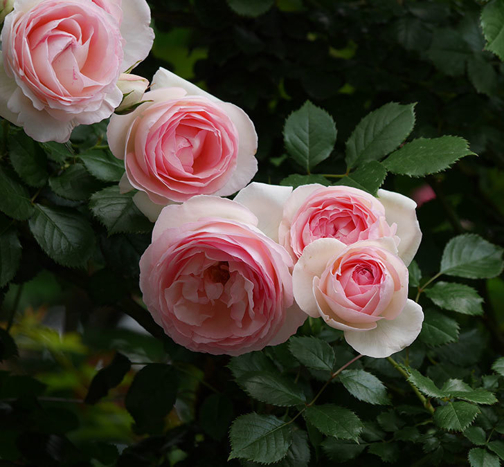 ピエール・ドゥ・ロンサール(ツルバラ)の花がたくさん咲いた。2019年-22.jpg