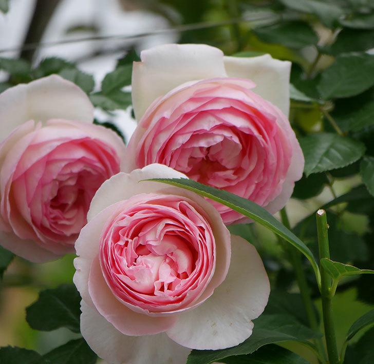 ピエール・ドゥ・ロンサール(ツルバラ)の花がたくさん咲いた。2019年-24.jpg