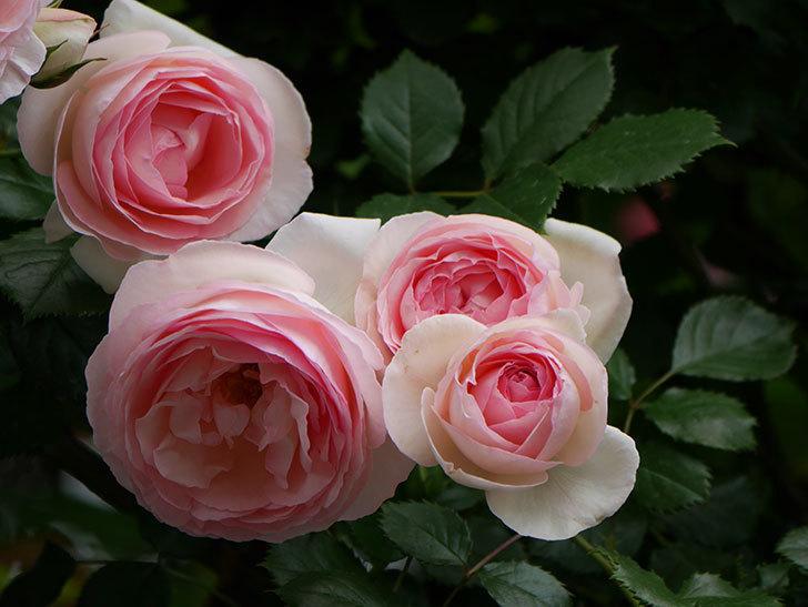 ピエール・ドゥ・ロンサール(ツルバラ)の花がたくさん咲いた。2019年-25.jpg