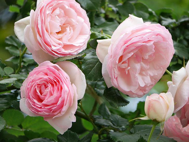 ピエール・ドゥ・ロンサール(ツルバラ)の花がたくさん咲いた。2019年-26.jpg