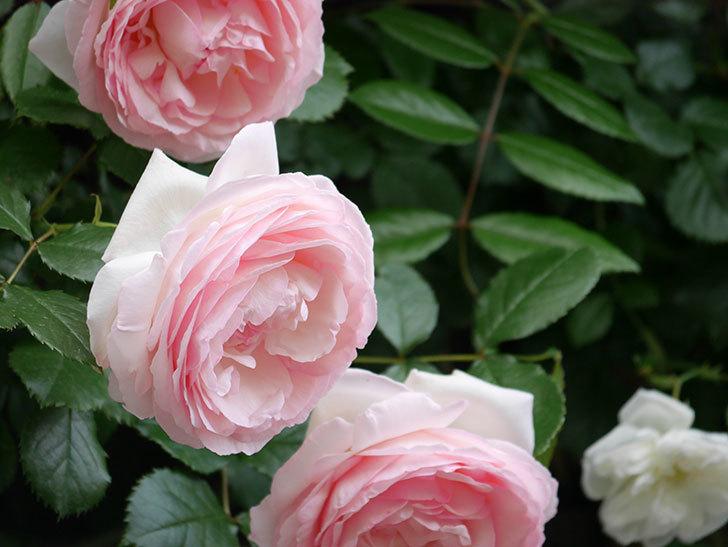 ピエール・ドゥ・ロンサール(ツルバラ)の花がたくさん咲いた。2019年-27.jpg