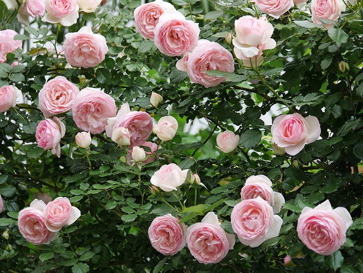 ピエール・ドゥ・ロンサール(ツルバラ)の花がたくさん咲いた。2019年-28.jpg