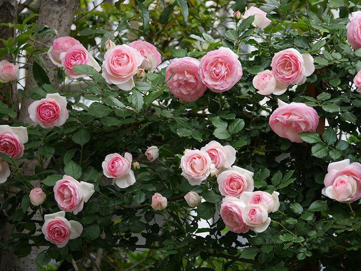 ピエール・ドゥ・ロンサール(ツルバラ)の花がたくさん咲いた。2019年-29.jpg