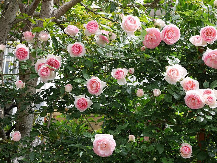 ピエール・ドゥ・ロンサール(ツルバラ)の花がたくさん咲いた。2019年-3.jpg