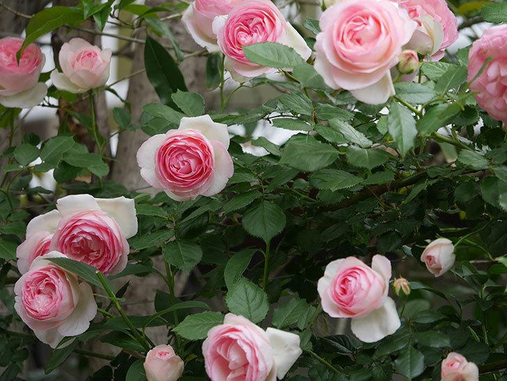 ピエール・ドゥ・ロンサール(ツルバラ)の花がたくさん咲いた。2019年-30.jpg