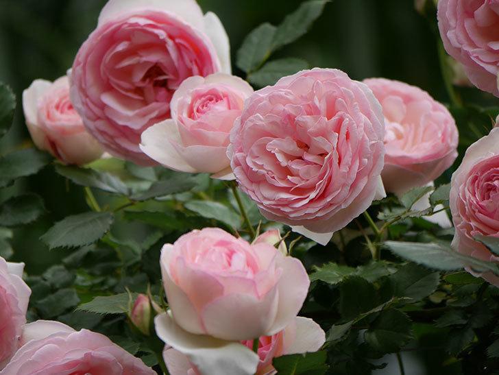 ピエール・ドゥ・ロンサール(ツルバラ)の花がたくさん咲いた。2019年-31.jpg