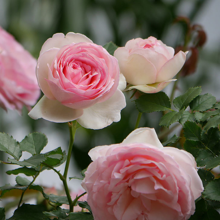 ピエール・ドゥ・ロンサール(ツルバラ)の花がたくさん咲いた。2019年-32.jpg