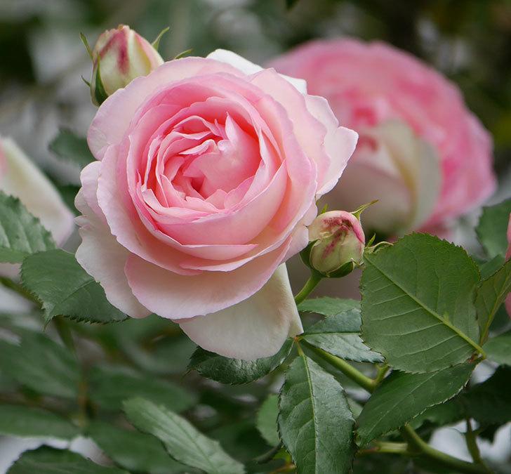 ピエール・ドゥ・ロンサール(ツルバラ)の花がたくさん咲いた。2019年-33.jpg