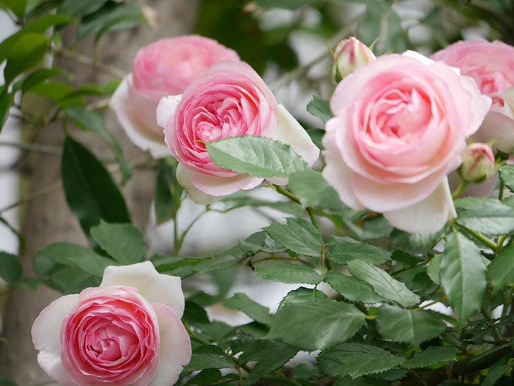 ピエール・ドゥ・ロンサール(ツルバラ)の花がたくさん咲いた。2019年-34.jpg