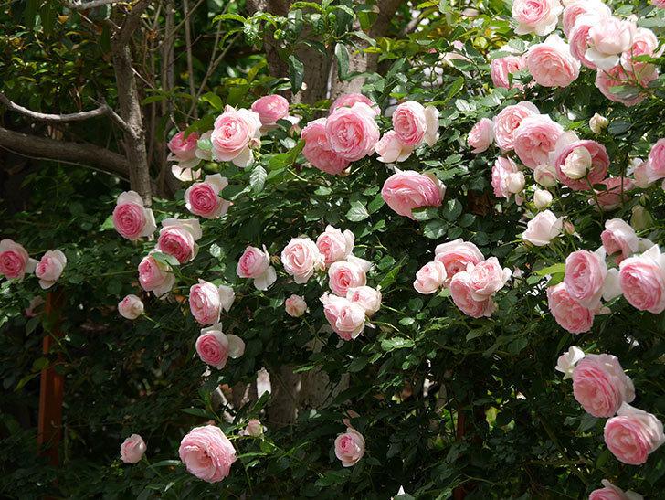 ピエール・ドゥ・ロンサール(ツルバラ)の花がたくさん咲いた。2019年-35.jpg