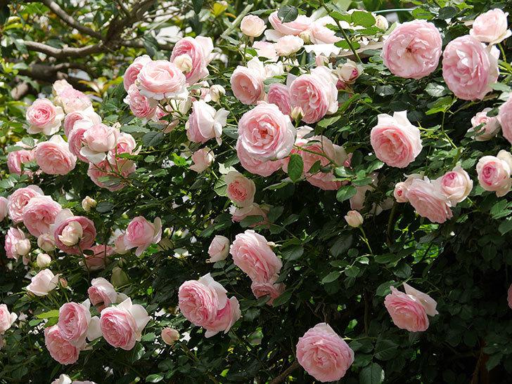 ピエール・ドゥ・ロンサール(ツルバラ)の花がたくさん咲いた。2019年-36.jpg