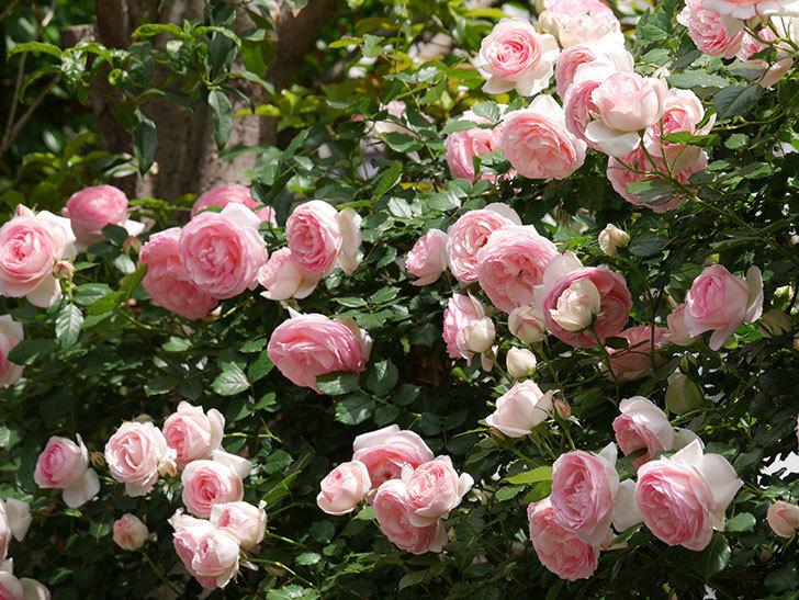 ピエール・ドゥ・ロンサール(ツルバラ)の花がたくさん咲いた。2019年-37.jpg