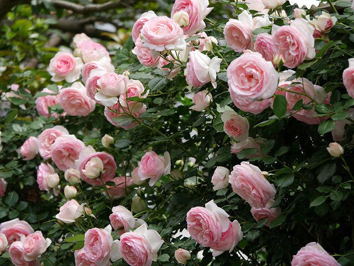 ピエール・ドゥ・ロンサール(ツルバラ)の花がたくさん咲いた。2019年-38.jpg
