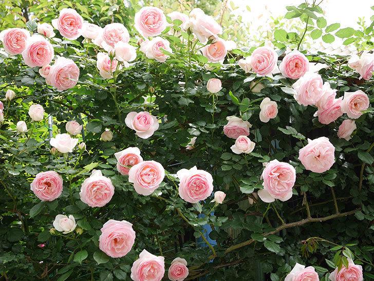 ピエール・ドゥ・ロンサール(ツルバラ)の花がたくさん咲いた。2019年-4.jpg