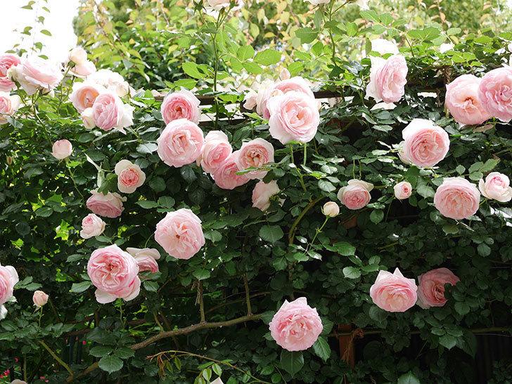 ピエール・ドゥ・ロンサール(ツルバラ)の花がたくさん咲いた。2019年-5.jpg