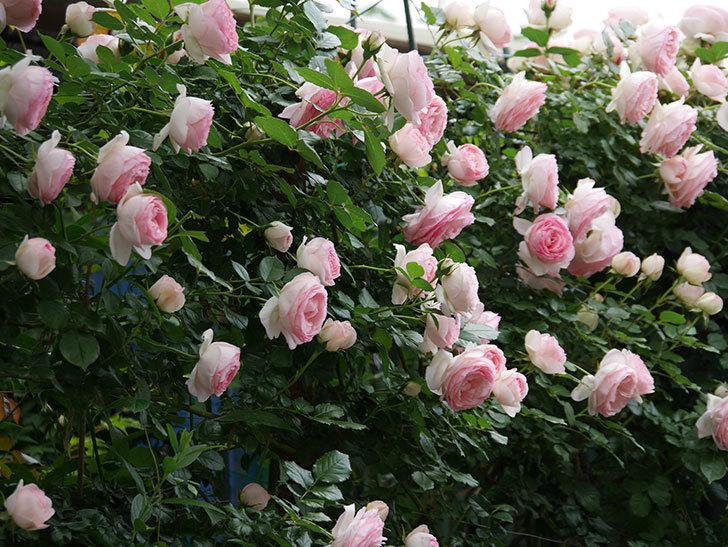 ピエール・ドゥ・ロンサール(ツルバラ)の花がたくさん咲いた。2019年-6.jpg