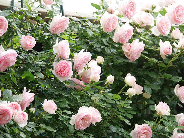 ピエール・ドゥ・ロンサール(ツルバラ)の花がたくさん咲いた。2019年-8.jpg