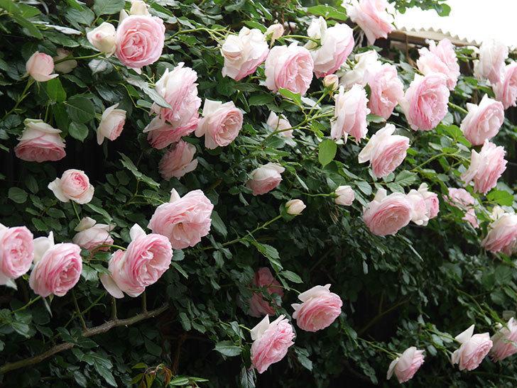 ピエール・ドゥ・ロンサール(ツルバラ)の花がたくさん咲いた。2019年-9.jpg