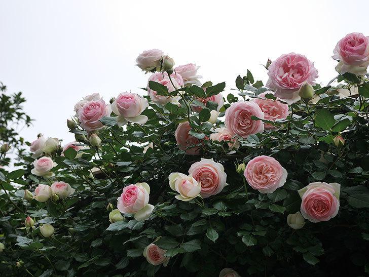 ピエール・ドゥ・ロンサール(ツルバラ)の花がたくさん咲いた。2020年-1.jpg