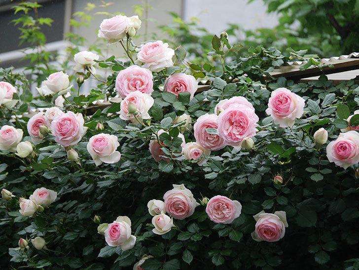 ピエール・ドゥ・ロンサール(ツルバラ)の花がたくさん咲いた。2020年-10.jpg