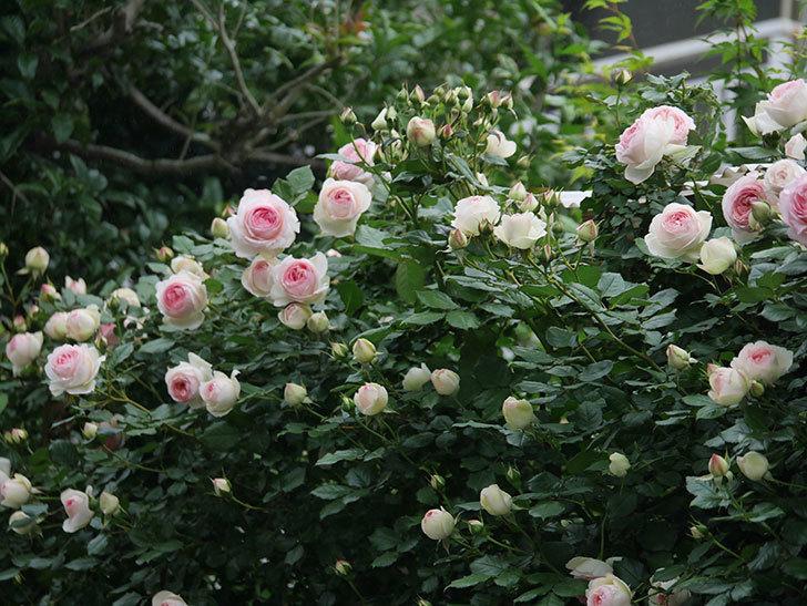 ピエール・ドゥ・ロンサール(ツルバラ)の花がたくさん咲いた。2020年-11.jpg