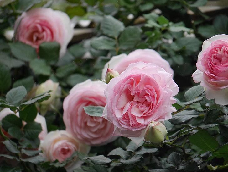 ピエール・ドゥ・ロンサール(ツルバラ)の花がたくさん咲いた。2020年-12.jpg