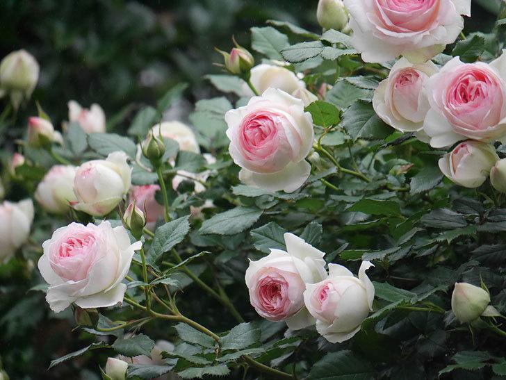 ピエール・ドゥ・ロンサール(ツルバラ)の花がたくさん咲いた。2020年-13.jpg