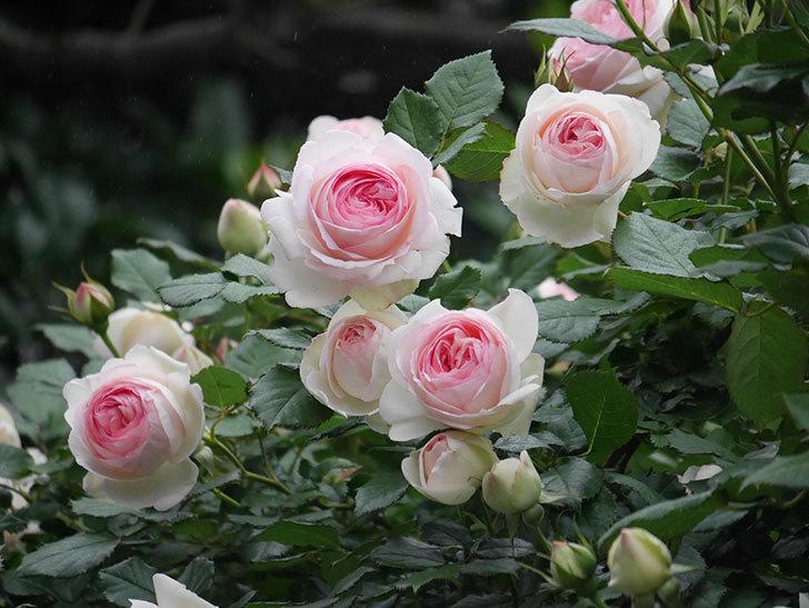 ピエール・ドゥ・ロンサール(ツルバラ)の花がたくさん咲いた。2020年-14.jpg