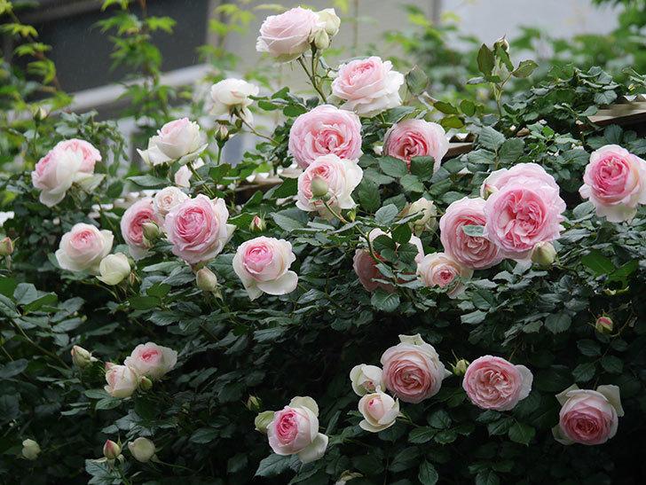 ピエール・ドゥ・ロンサール(ツルバラ)の花がたくさん咲いた。2020年-15.jpg