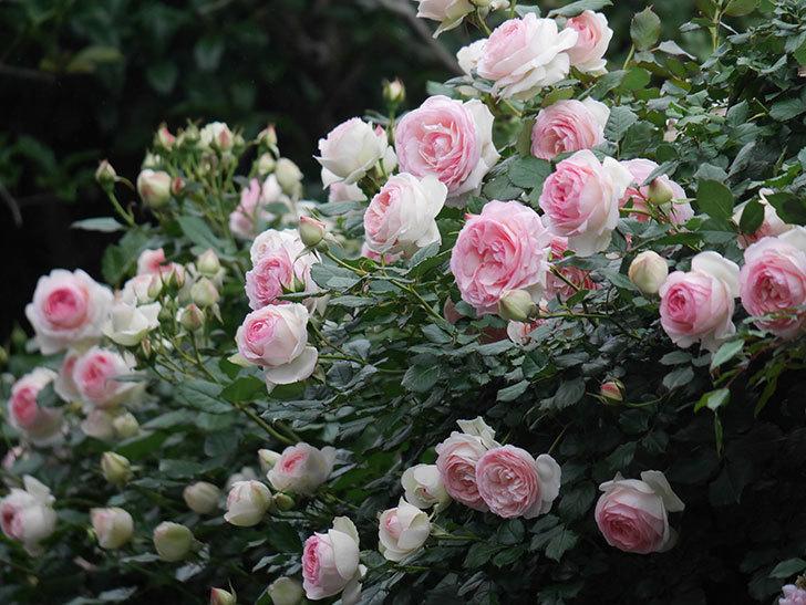 ピエール・ドゥ・ロンサール(ツルバラ)の花がたくさん咲いた。2020年-16.jpg