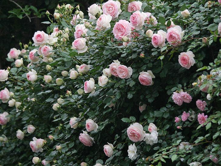 ピエール・ドゥ・ロンサール(ツルバラ)の花がたくさん咲いた。2020年-17.jpg