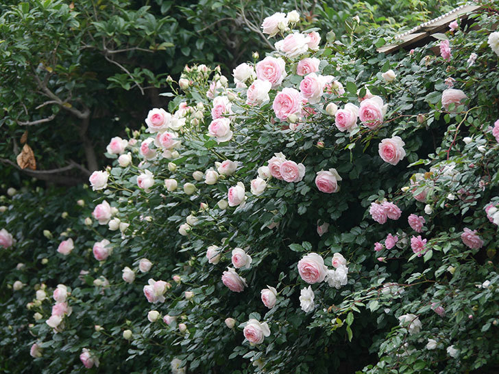 ピエール・ドゥ・ロンサール(ツルバラ)の花がたくさん咲いた。2020年-18.jpg