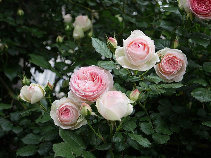 ピエール・ドゥ・ロンサール(ツルバラ)の花がたくさん咲いた。2020年-2.jpg