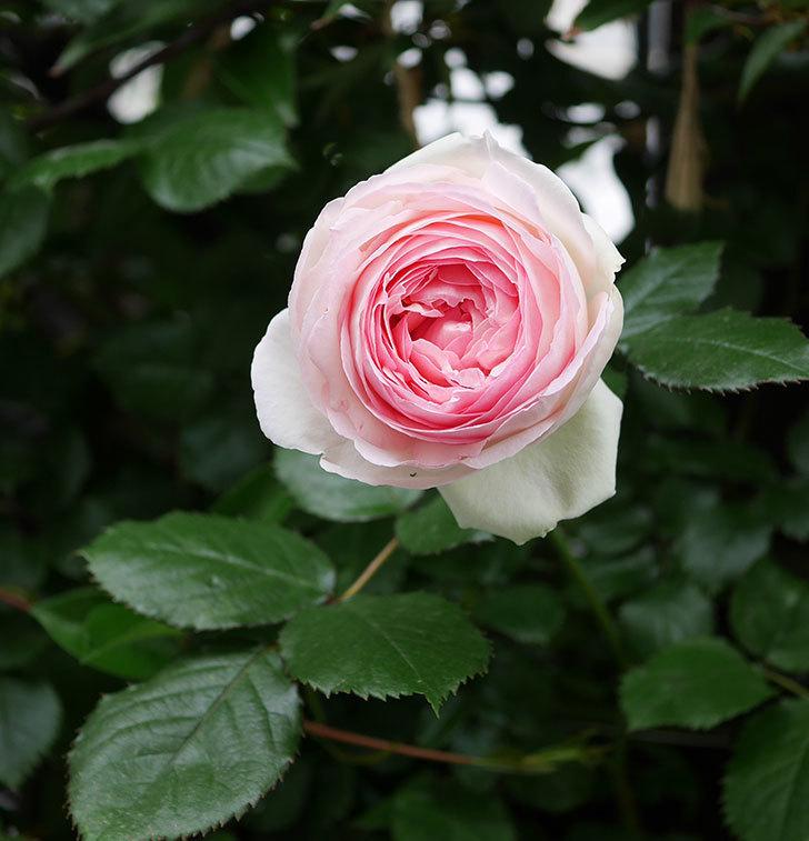 ピエール・ドゥ・ロンサール(ツルバラ)の花がたくさん咲いた。2020年-3.jpg